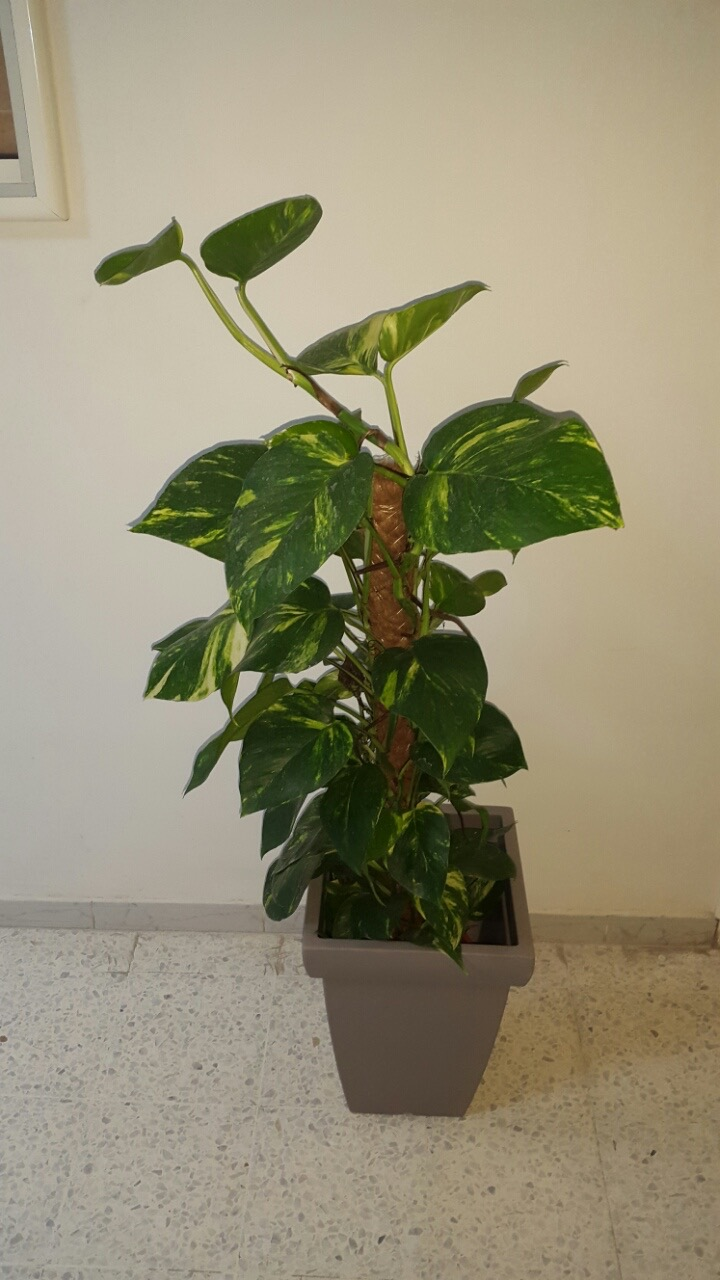 Pot gris 65 cm plante potos meubles et d coration tunisie for Vente plantes artificielles tunisie